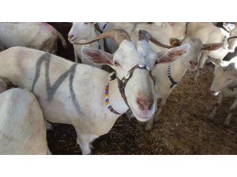 Balıkesir'de 2 Keçi İle Çobanlığa Başlayan Muhtar Binlerce Keçi Ve Oğlak Yetiştirdi
