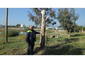 Burhaniye İmko Tatil Sitesi'nde Budama Tartışması