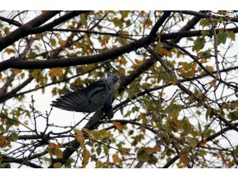 Giresun'da Ağaçta Güvercin Kurtarma Operasyonu