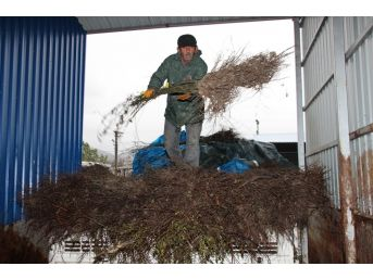 Büyükşehirden Çiftçilere 4 Bin Kuşburnu Fidanı