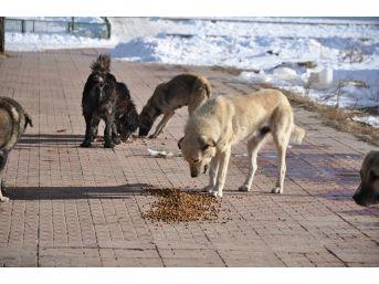 Kaü İnovatif Gençlik Kulübü Öğrencileri Sokak Köpeklerini Doyurdu