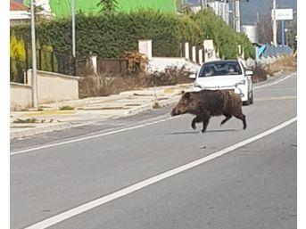 İzmir'de Yaban Domuzları Şehre İndi