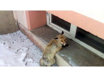 Köpeklerin Saldırısına Uğrayan Tilki, Okul Bahçesine Sığındı