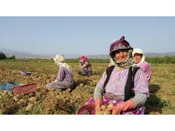 Ödemiş Patatesi Ücret, Yağış Ve Adaptasyon Kıskacında