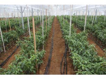 Çanakkale'de İlk Kez 'jeotermal Sera'da 4 Mevsim Sebzeler Üretiliyor
