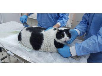(özel Haber)18 Kiloluk Kedi Görenleri Hayrete Düşürüyor