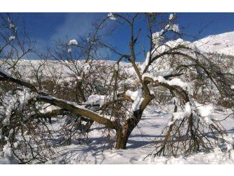 Kayısıyı Kar Vurdu