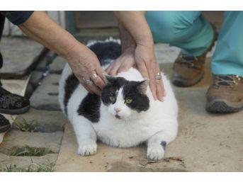 (özel Haber) 18 Kiloluk Kedi Tombalak'ı Zayıflatmak İçin Seferber Oldular