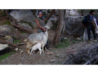 Dağda 6 Gündür Mahsur Kalan Keçiyi Akut Ekibi Kurtardı