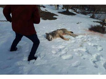 Ağrı'da Köye İnen Kurt Köpekler Tarafından Parçalandı