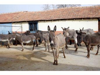 Turizm Sektörünü Bıraktı, Eşek Sütü Üretimine Başladı