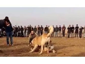 (özel Haber) Fıstık Bahçesinde Kanlı Köpek Dövüşü
