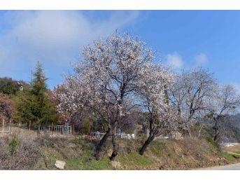 Erik Ağacı Şubat Ayında Çiçek Açtı