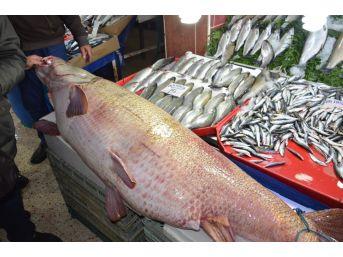 Dev Kurşun Balığı Görenleri Hayrete Düşürüyor
