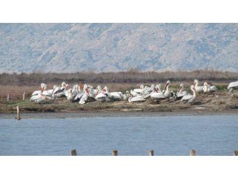 Tepeli Pelikanlar Çalıştayda Konuşuldu