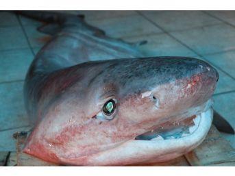 Dev Köpek Balığı, Balıkçıların Ağına Takıldı
