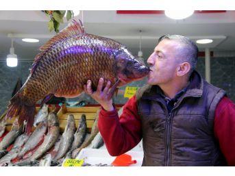 10,5 Kiloluk Sazan Ve 65 Kiloluk Yayın Balığı Görenleri Şaşırttı