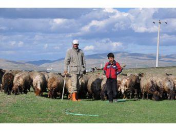 Çoban Maliyeti 5-6 Bin Tl'yi Bulunca Hayvanlarına Kendileri Bakıyor