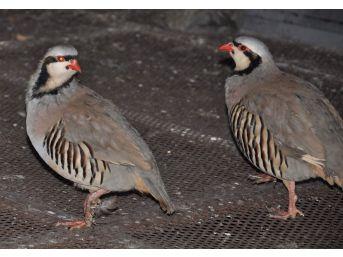 (özel Haber) Kekliklerin Nesli 'kurak Avcılığı' Yüzünden Tükenebilir