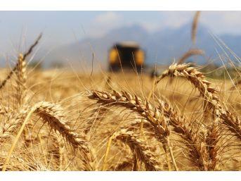 Türkiye'nin İlk Buğday Hasatı Antalya'da Başladı