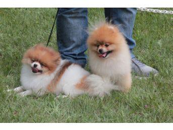 42 Farklı Irktan 180 Köpek Kıyasıya Yarıştı