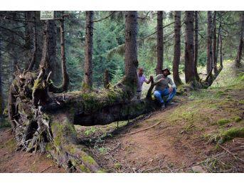 Bir Gövdede 18 Ağaç Görenleri Şaşırtıyor