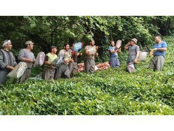 Gürcü Çay İşçileri Çay Toplamayı Eğlenceye Dönüştürdü