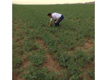 Yozgat'ta Nohut Tarlalarında Koruyucu İlaçlama Çalışması Başladı