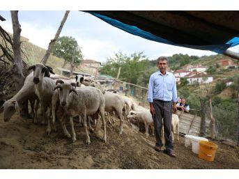 (özel) Göçten Vazgeçip Hayvancılığa Başladılar