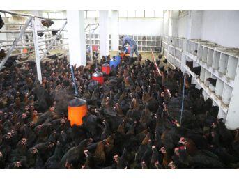 Bankacılıktan Bin 500 Tavuklu Çiftliğe