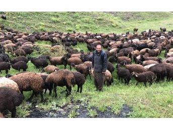Çobanlar Koyun Sürüsüyle Doluya Tutuldu