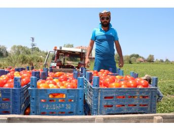 Bafra'da Yetişen Domates Tüketicinin İmdadına Yetişti