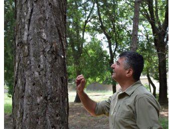 Bitkin Halde Bulunan Yavru Ağaç Yediuyuru Doğaya Bırakıldı