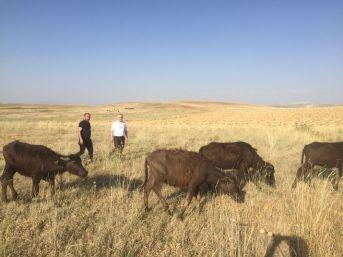 Genç Çiftçilere Manda Dağıtımı