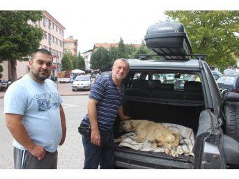 Boz Ayının Saldırısına Uğrayan Köpek Bursa'ya Götürüldü