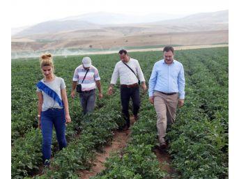 Patates Tohumunda Yüksek Verim Bekleniyor