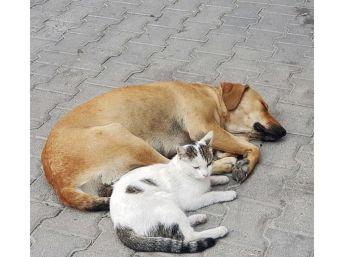 (özel) Kedi İle Köpeğin Dostluğu Görenleri Hayrete Düşürüyor