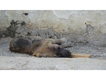 (özel) Zifte Düşen Köpekler Hayvanseverler Tarafından Kurtarıldı